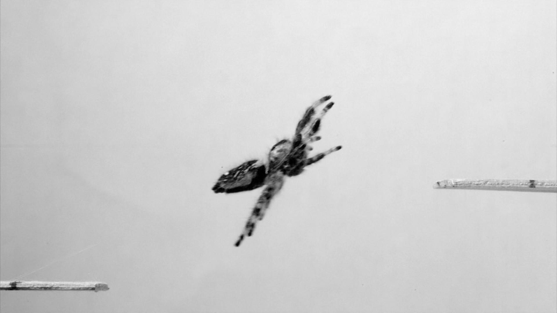 Un equipo de investigadores entrena a una araña para que salte