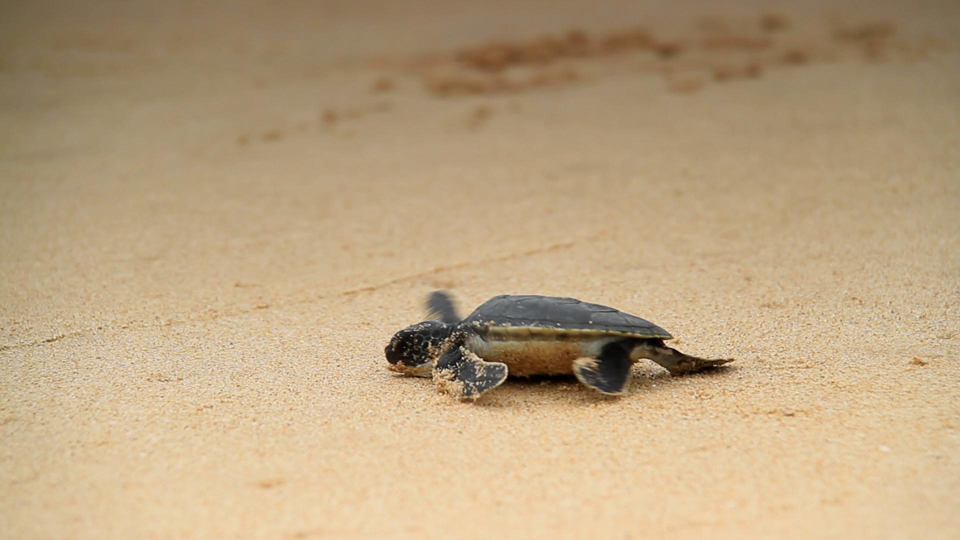 El 99% de estas tortugas marinas nacen hembras: esta es la razón ...
