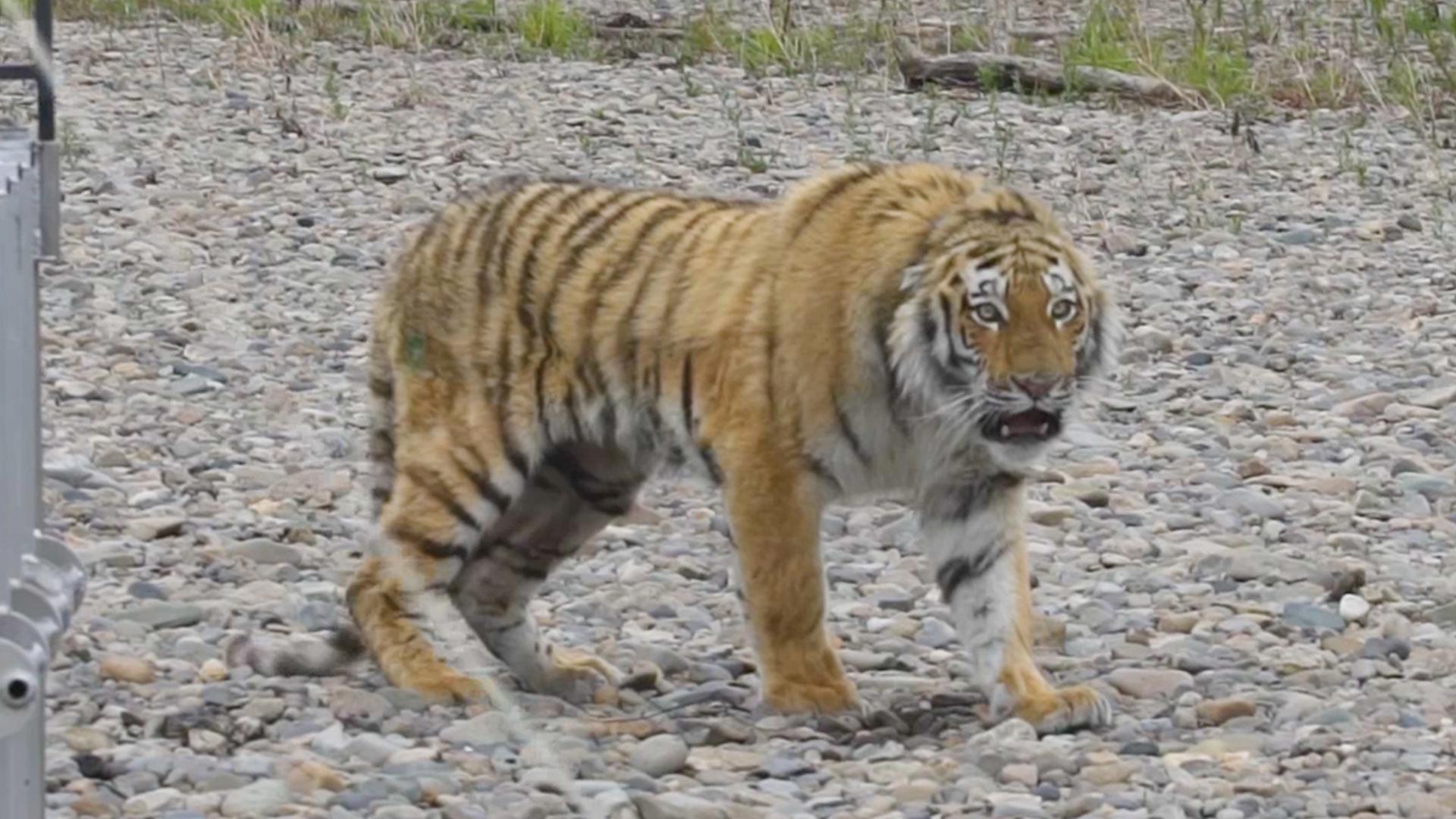 Tiger Der Durch Russische Stadt Spazierte Wird Ausgewildert